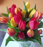 tulipany_mdz