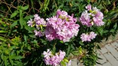 fialovekvety