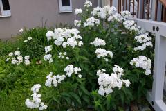 bilekvety
